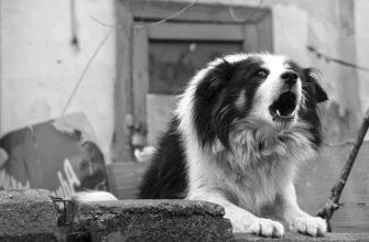 Лай собаки у соседа
